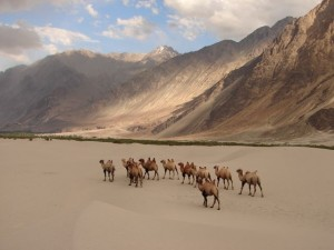 Nubra Valley Camel