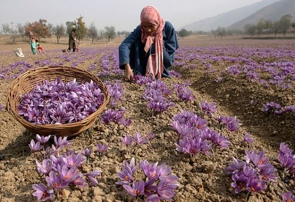 Saffron Fields in Kishtwar