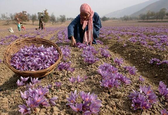 Saffron Fields in Kishtwar