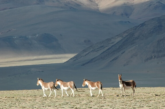 wildlife photography in ladakh